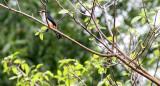 BIRD - FALCONET - COLLARED FALCONET - HKK THAILAND (12).JPG