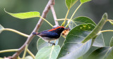 BIRD - FLOWERPECKER - SCARLET-BACKED FLOWERPECKER - DICAEUM CRUENTATUM - KOH LANTA THAILAND (16).JPG