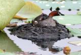 BIRD - GREBE - LITTLE GREBE - BUENG BORAPHET THAILAND (29).JPG