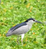 BIRD - HERON - BLACK-CROWNED NIGHT HERON - NAKHON WETLANDS THAILAND (4).JPG