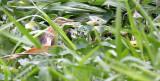 BIRD - HERON - JAVAN POND HERON - ARDEOLA SPECIOSA - BANGKOK THONBURI CANALS (9).JPG