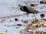 BIRD - HERON - PACIFIC REEF HERON - KOH LANTA  (15).JPG