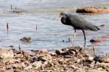 BIRD - HERON - PACIFIC REEF HERON - KOH LANTA  (19).JPG