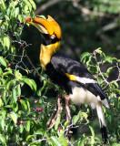 BIRD - HORNBILL - GREAT HORNBILL - KAENG KRACHAN NP THAILAND (8).JPG