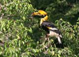 BIRD - HORNBILL - GREAT HORNBILL - SOMS - KAENG KRACHAN NP THAILAND (9).JPG