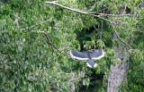 BIRD - HORNBILL - ORIENTAL PIED HORNBILL - KAENG KRACHAN NP THAILAND - SOMS.JPG