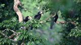 BIRD - HORNBILL - ORIENTAL-PIED HORNBILL - KAENG KRACHAN NP THAILAND (21).JPG