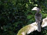 BIRD - HORNBILL - ORIENTAL-PIED HORNBILL - KAENG KRACHAN NP THAILAND (48).JPG