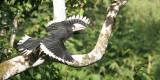 BIRD - HORNBILL - ORIENTAL-PIED HORNBILL - SOMS - KAENG KRACHAN NP THAILAND.jpg