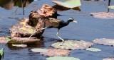 BIRD - JACANA - BRONZE-WINGED JACANA - KHAO SAM ROI YOT THAILAND (14).JPG