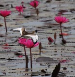 BIRD - JACANA - PHEASANT-TAILED JACANA - NONBREEDING - CHRISTMAS IN THAILAND TRIP 2008 (2).JPG