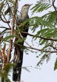 BIRD - MALKOHA - GREEN BILLED - KAENG KRACHAN NP THAILAND (5).JPG