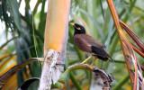 BIRD - MYNA - COMMON MYNA - NAKHON WETLANDS THAILAND (4).JPG