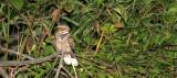 BIRD - NIGHTJAR - LARGE-TAILED NIGHTJAR - CAPRIMULGUS MACRURUS - PANG SIDA NATIONAL PARK THAILAND (9).JPG