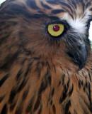 BIRD - OWL - BUFFY FISH-OWL - NST THAILAND.JPG