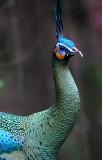 BIRD - PEAFOWL - GREEN PEAFOWL - WAT UMON WILDLIFE AREA - CHIANG MAI (10).JPG