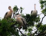 BIRD - PELICAN - SPOT-BILLED PELICAN - PELICANUS PHILIPPENSIS - BUENG BORAPHET THAILAND (6).JPG