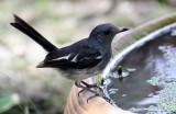 BIRD - ROBIN - ORIENTAL MAGPIE ROBIN - COPSYCHUS SAULARIS - NST THAILAND (2).JPG