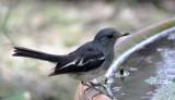 BIRD - ROBIN - ORIENTAL MAGPIE ROBIN - COPSYCHUS SAULARIS - NST THAILAND (3).JPG