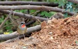 BIRD - RUBYTHROAT - SIBERIAN RUBYTHROAT - BUENG BORAPHET THAILAND (10).JPG