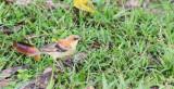 BIRD - SPARROW - PLAIN-BACKED SPARROW - PASSER FLAVEOLUS - KHAO YAI NATIONAL PARK THAILAND (7).JPG