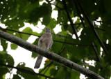 BIRD - SPARROWHAWK - JAPANESE SPARROWHAWK KHAO YAI BIRD.jpg