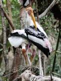 BIRD - STORK - PAINTED STORK - CHIANG MAI THAILAND (7).JPG