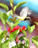 BIRD - SUNBIRD - BROWN-THROATED SUNBIRD - KOH LANTA THAILAND (19).JPG