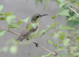 BIRD - SUNBIRD - OLIVE-BACKED SUNBIRD - NECTARINIA JUGULARIS - NST HOUSE THAILAND (3).JPG