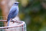BIRD - THRUSH - BLUE ROCK-THRUSH - KHAO YAI NP THAILAND (11).JPG