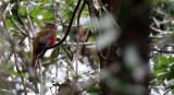 BIRD - TROGON - RED-HEADED TROGON - KHAO YAI THAILAND - HARPACTES ERYTHROCEPHALUS (4).JPG