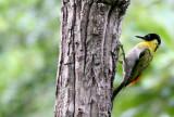 BIRD - WOODPECKER - BLACK-HEADED WOODPECKER - HUAI KHA KHAENG NWS THAILAND (5).JPG