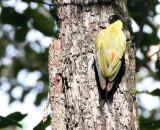 BIRD - WOODPECKER - BLACK-HEADED WP - HKK THAILAND.JPG