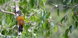 BIRD - WOODPECKER - COMMON FLAMEBACK - KAENG KRACHAN NP THAILAND (4).JPG