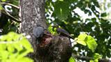 BIRD - WOODPECKER - GREAT-SLATY WOODPECKER - KAENG KRACHAN NP THAILAND (14).JPG
