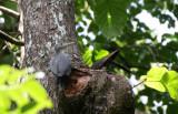 BIRD - WOODPECKER - GREAT-SLATY WOODPECKER - KAENG KRACHAN NP THAILAND (15).JPG