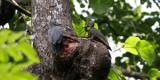 BIRD - WOODPECKER - GREAT-SLATY WOODPECKER - KAENG KRACHAN NP THAILAND (18).JPG