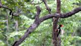 BIRD - WOODPECKER - WHITE-BELLIED WOODPECKER - HUAI KHA KHAENG NWS THAILAND (6).JPG