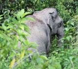 ELEPHANT - ASIAN ELEPHANT - KAENG KRACHAN NP THAILAND (7).JPG