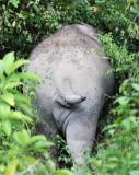 ELEPHANT - ASIAN ELEPHANT - KAENG KRACHAN NP THAILAND (9).JPG