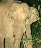 ELEPHANT - ASIAN ELEPHANT - KHAO YAI NP - 2004 (4).jpg