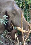 ELEPHANT - ASIAN ELEPHANT - KHAO YAI THAILAND - CHRISTMAS IN THAILAND TRIP 2008 (103).JPG