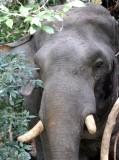 ELEPHANT - ASIAN ELEPHANT - KHAO YAI THAILAND - CHRISTMAS IN THAILAND TRIP 2008 (3).JPG