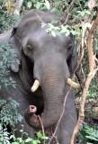ELEPHANT - ASIAN ELEPHANT - KHAO YAI THAILAND - CHRISTMAS IN THAILAND TRIP 2008 (54).JPG