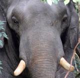ELEPHANT - ASIAN ELEPHANT - KHAO YAI THAILAND - CHRISTMAS IN THAILAND TRIP 2008 (57).jpg