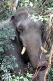 ELEPHANT - ASIAN ELEPHANT - KHAO YAI THAILAND - CHRISTMAS IN THAILAND TRIP 2008 (58).JPG