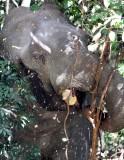 ELEPHANT - ASIAN ELEPHANT - KHAO YAI THAILAND - CHRISTMAS IN THAILAND TRIP 2008 (72).JPG