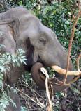 ELEPHANT - ASIAN ELEPHANT - KHAO YAI THAILAND - CHRISTMAS IN THAILAND TRIP 2008 (83).JPG