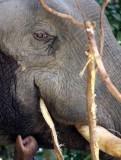 ELEPHANT - ASIAN ELEPHANT - KHAO YAI THAILAND - CHRISTMAS IN THAILAND TRIP 2008 (99).JPG