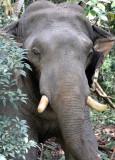ELEPHANT - ASIAN ELEPHANT - KHAO YAI THAILAND - CHRISTMAS IN THAILAND TRIP 2008.JPG